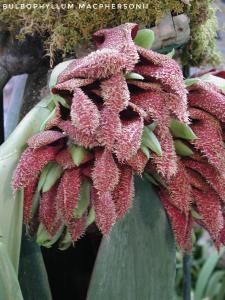 Bulbophyllum phalaenopsis - Flickr 003-01