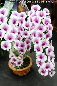 Dendrobium-Yaya-620x928-01