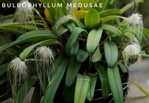 medusae1-01